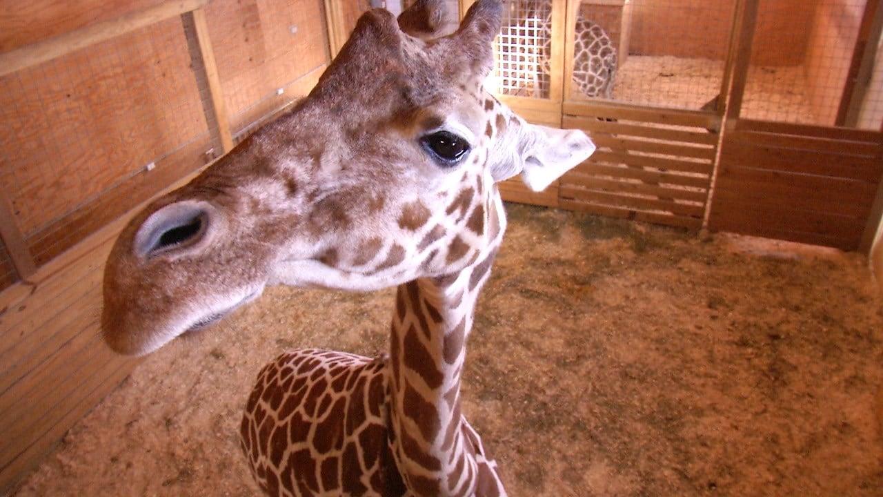 15 year-old giraffe nearing birth