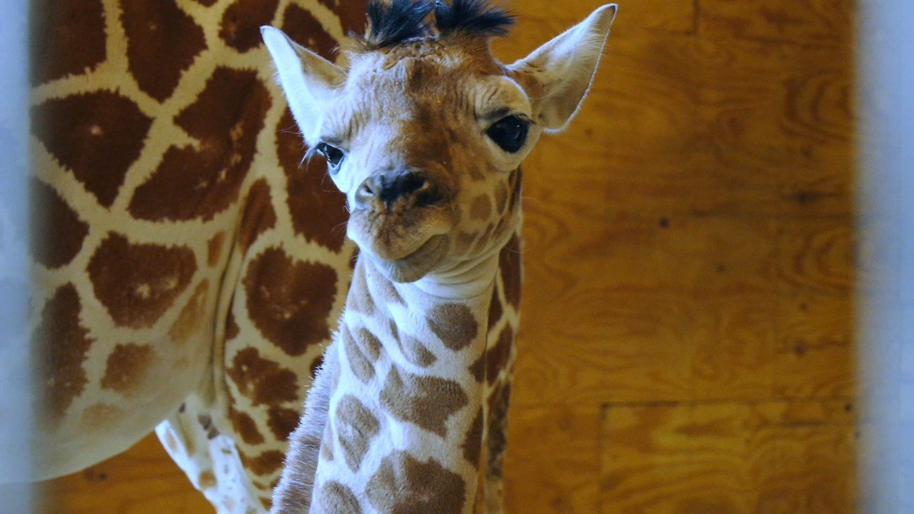 April's baby giraffe at two-days old