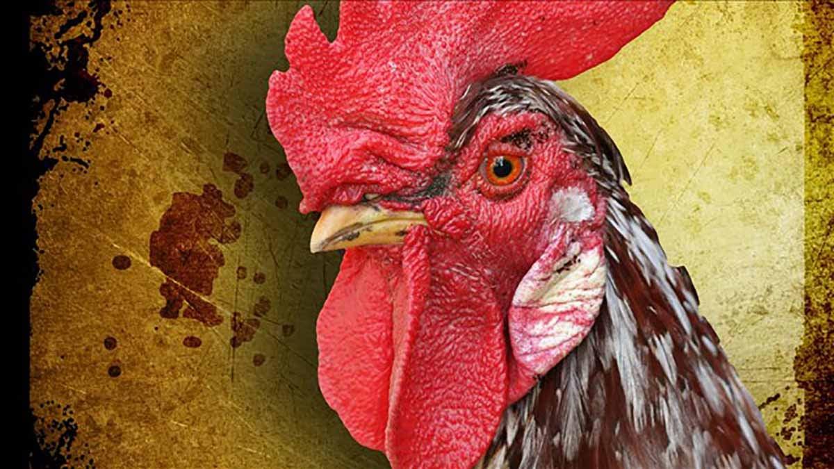 © cockfighting update
